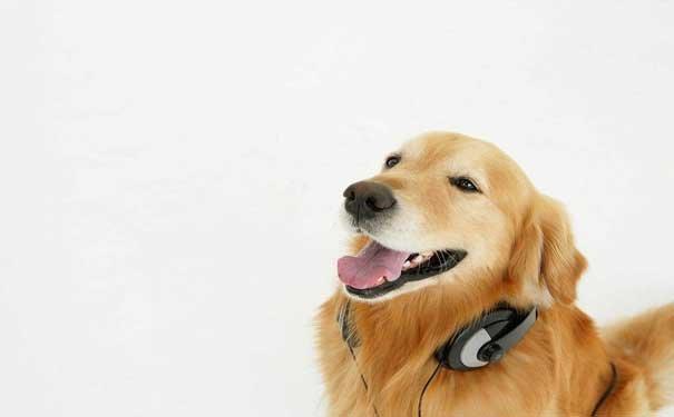狗狗新闻波士顿梗犬的形态特征